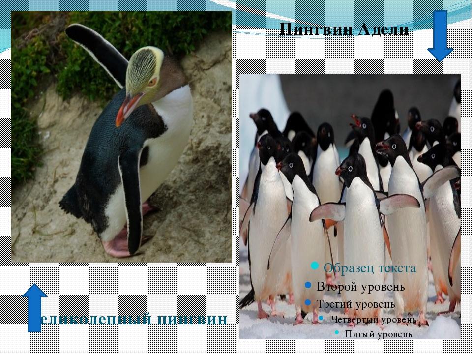 Пингвин Адели Великолепный пингвин