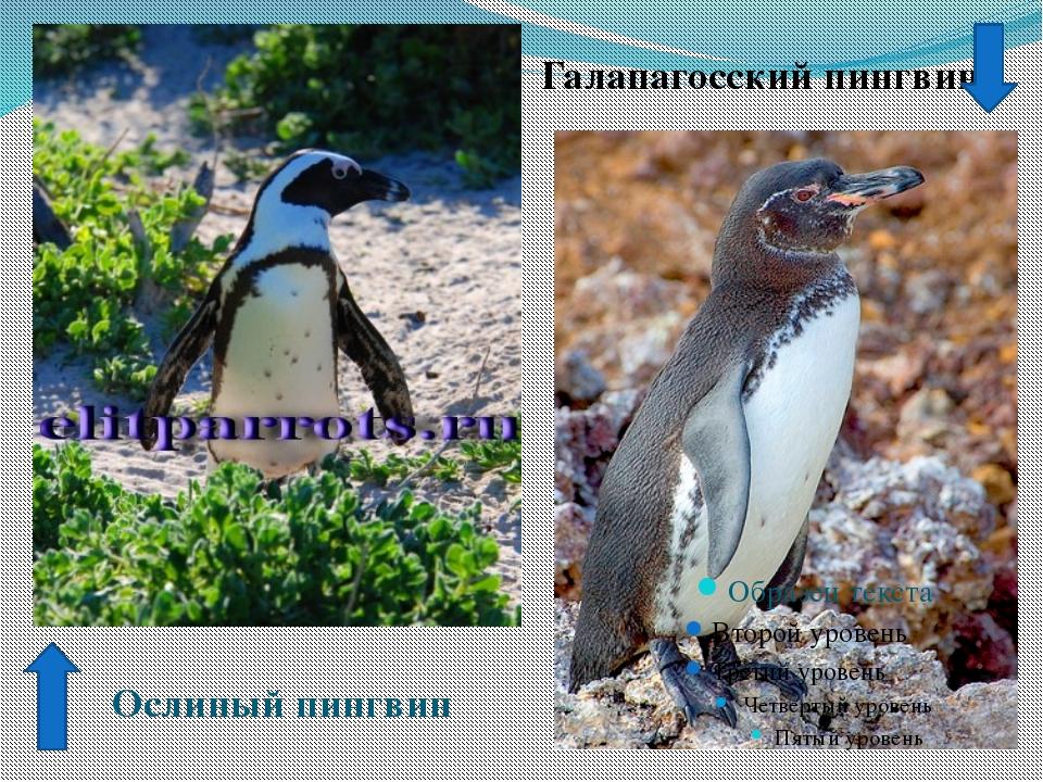 Галапагосский пингвин Ослиный пингвин