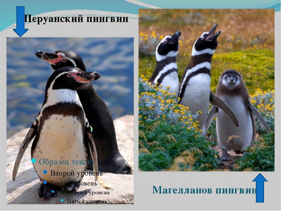 Перуанский пингвин Магелланов пингвин