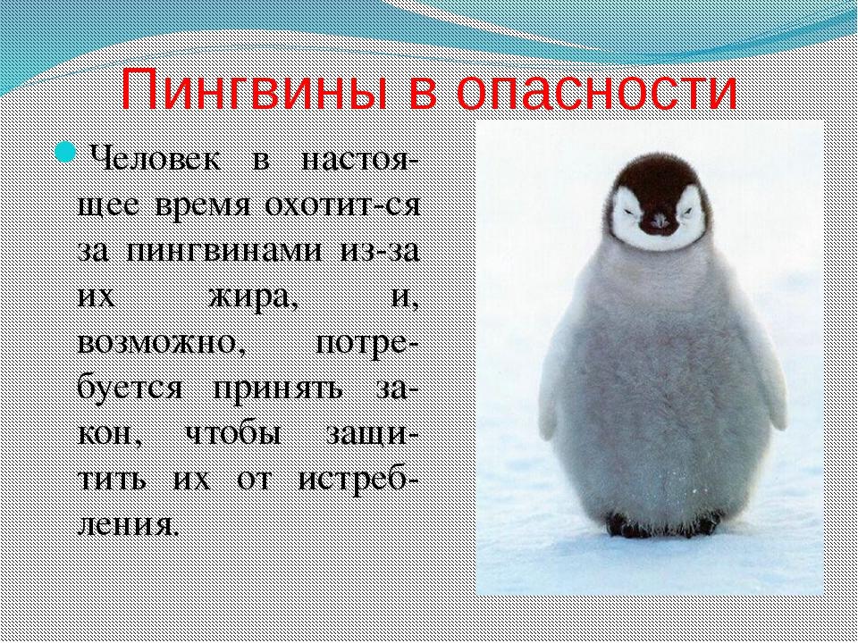 Пингвины в опасности Человек в настоя-щее время охотит-ся за пингвинами из-за...