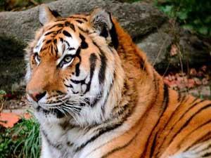 D:\123\tiger.jpg