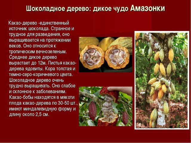 Шоколадное дерево: дикое чудо Амазонки Какао-дерево -единственный источник шо...