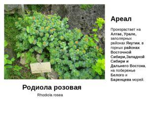 Rhodiola rosea Родиола розовая Ареал Произрастает на Алтае, Урале, заполярных