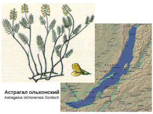Астрагал ольхонский – Astragalus olchonensis Gontsch