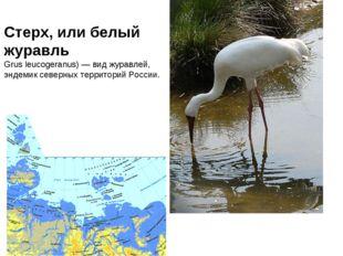 Стерх, или белый журавль Grus leucogeranus) — вид журавлей, эндемик северных