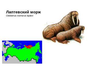 Лаптевский морж Odobenus rosmarus laptevi