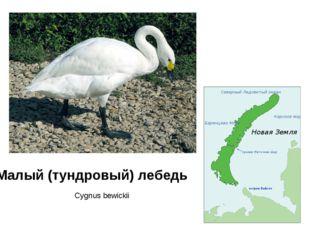 Малый (тундровый) лебедь Cygnus bewickii