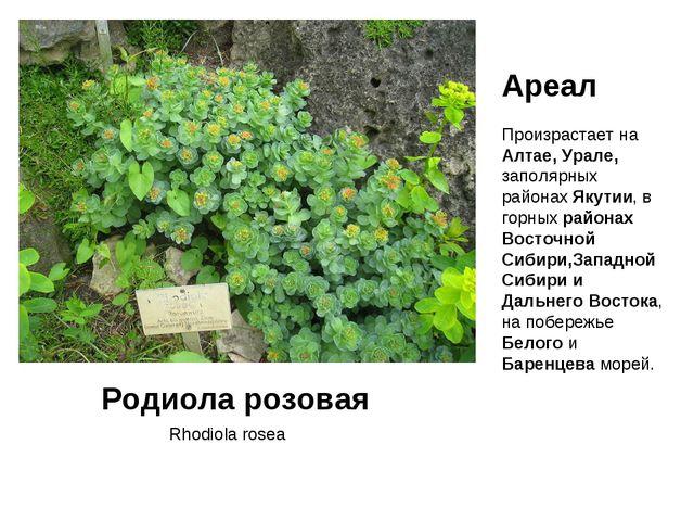 Rhodiola rosea Родиола розовая Ареал Произрастает на Алтае, Урале, заполярных...