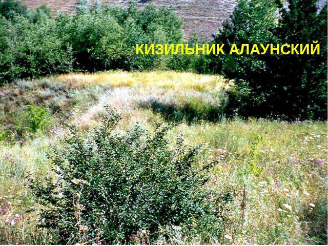 КИЗИЛЬНИК АЛАУНСКИЙ