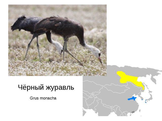 Grus monacha Чёрный журавль