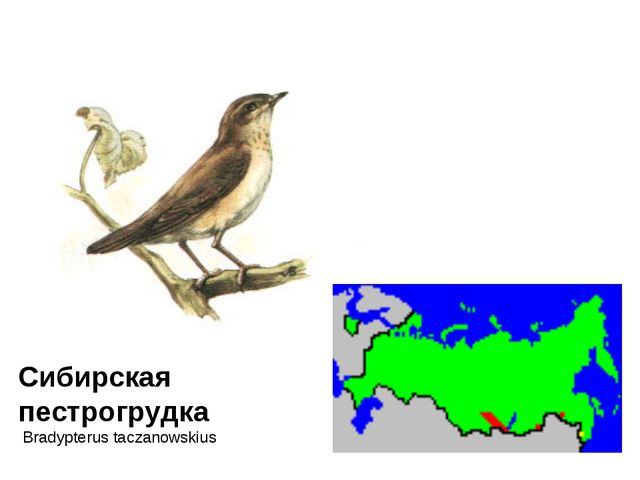 Сибирская пестрогрудка Bradypterus taczanowskius