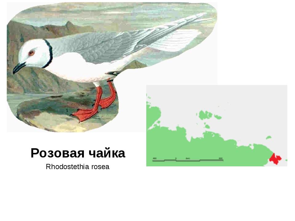Розовая чайка Rhodostethia rosea