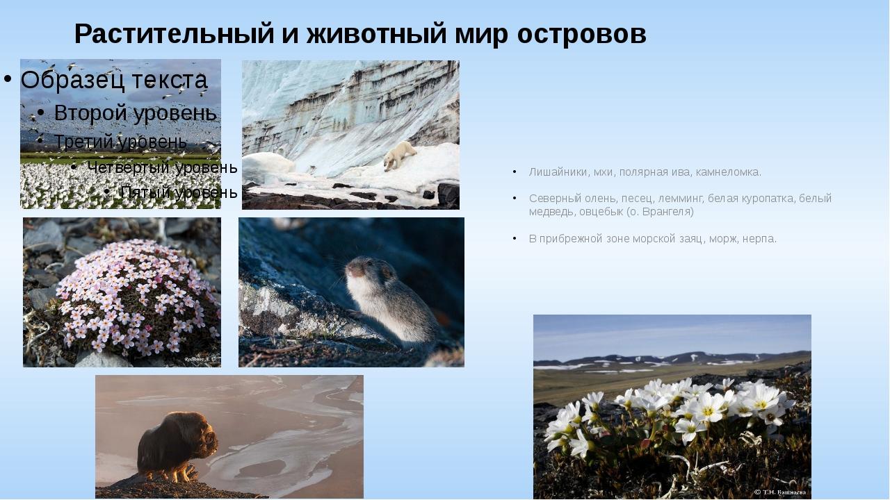 Растительный и животный мир островов Лишайники, мхи, полярная ива, камнеломка...