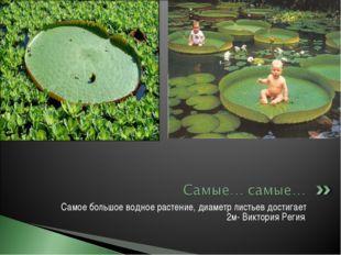 Самое большое водное растение, диаметр листьев достигает 2м- Виктория Регия.