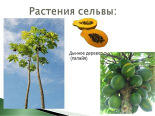 Дынное дерево (папайя)