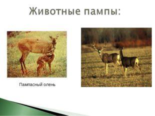 Пампасный олень