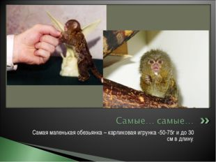 Самая маленькая обезьянка – карликовая игрунка -50-75г и до 30 см в длину.