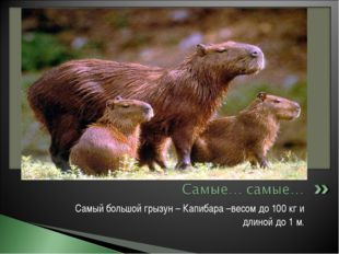 Самый большой грызун – Капибара –весом до 100 кг и длиной до 1 м.