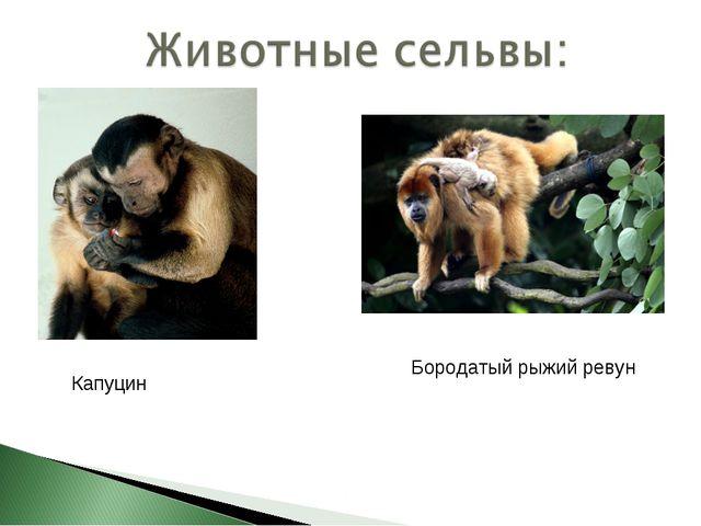 Капуцин Бородатый рыжий ревун