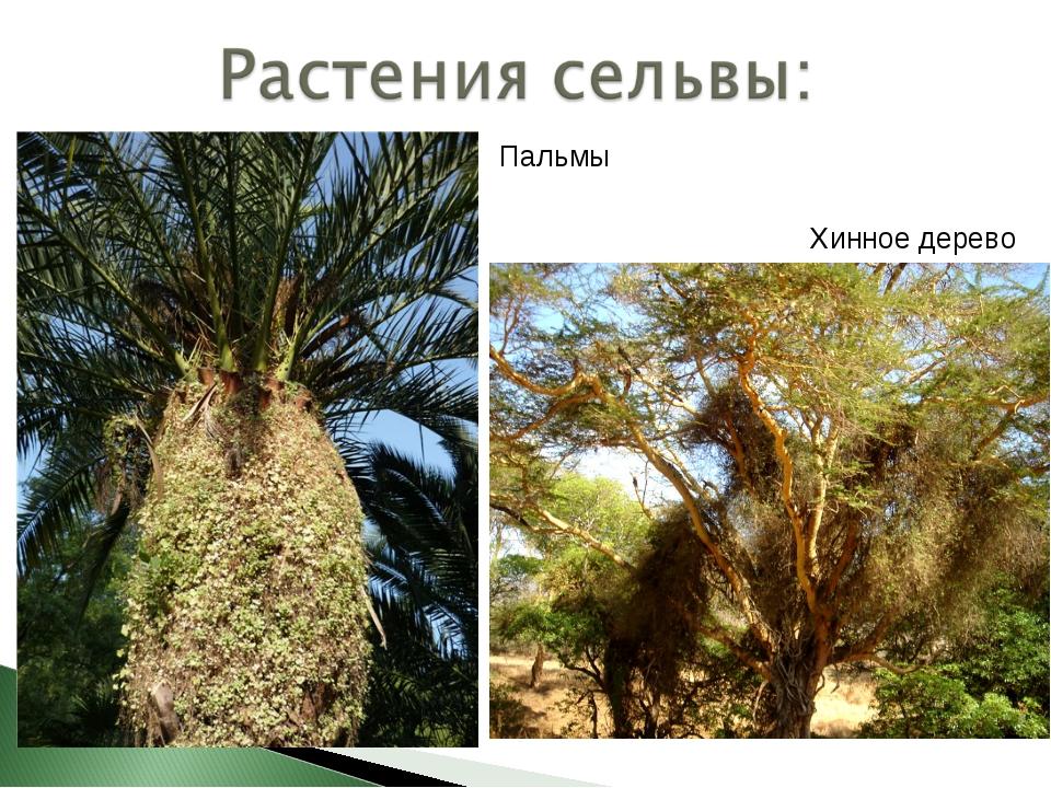 Хинное дерево Пальмы