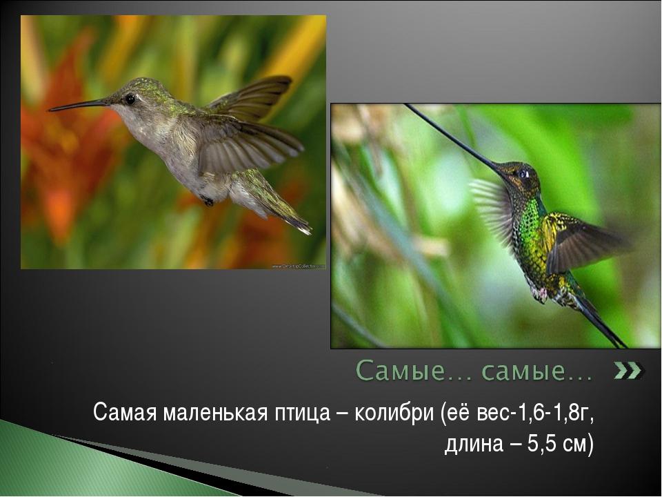 Самая маленькая птица – колибри (её вес-1,6-1,8г, длина – 5,5 см)