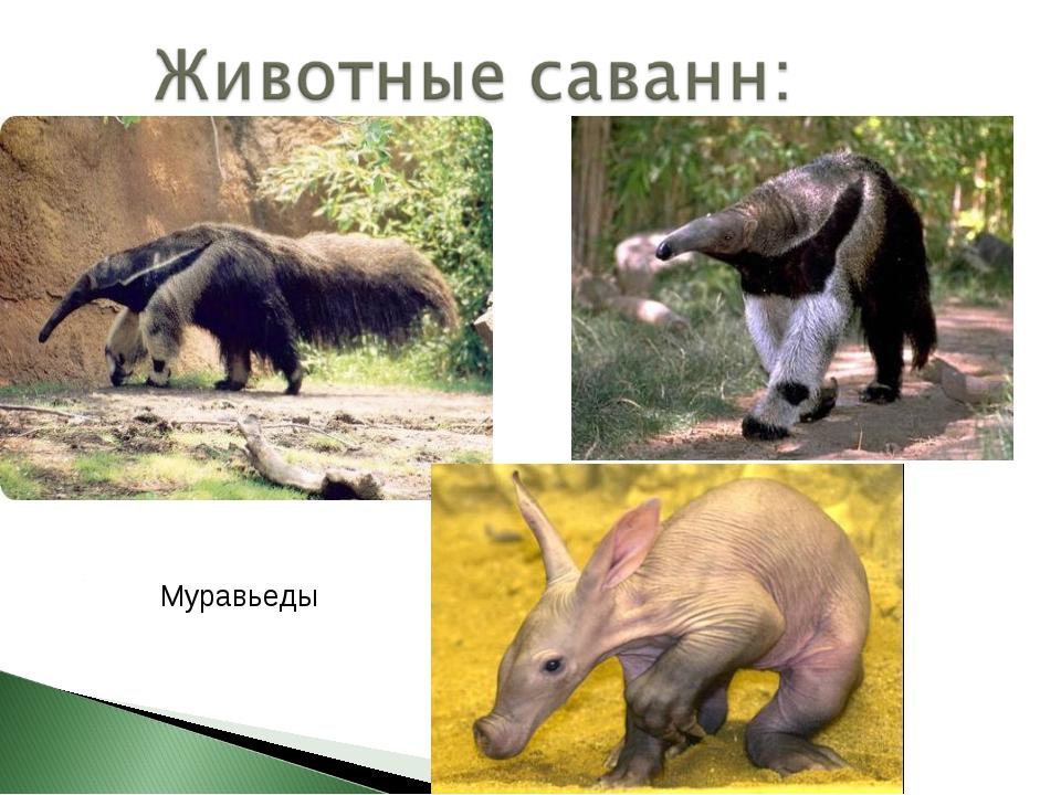 Муравьеды