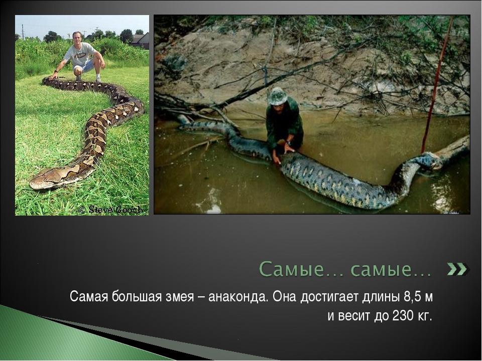 Самая большая змея – анаконда. Она достигает длины 8,5 м и весит до 230 кг.