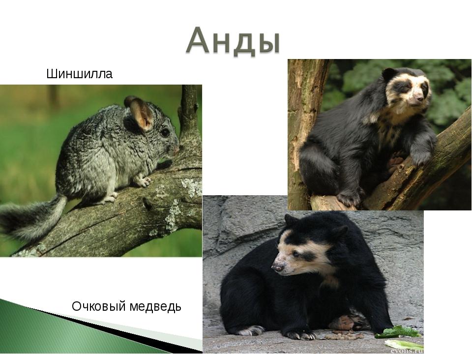 Шиншилла Очковый медведь