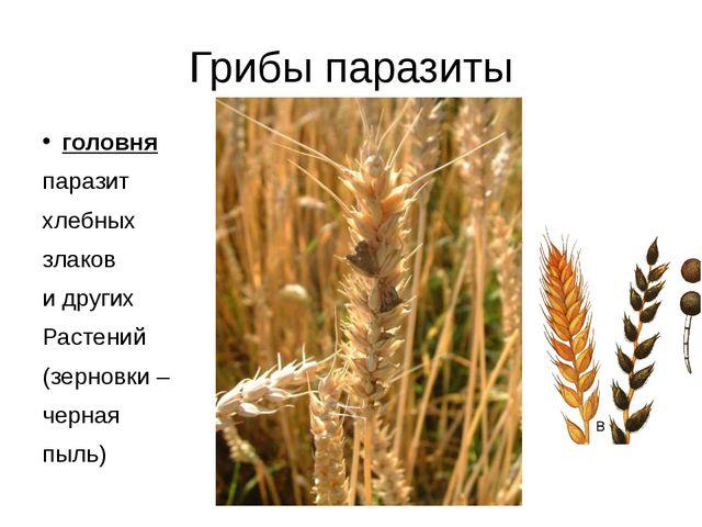 Грибы паразиты головня паразит хлебных злаков и других Растений (зерновки – ч...