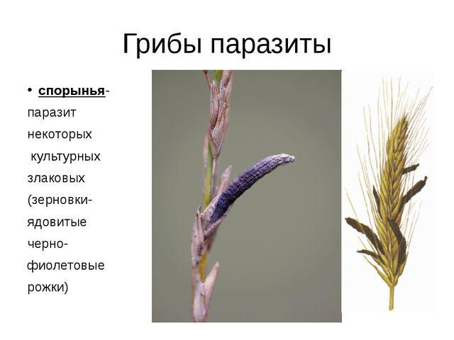 Грибы паразиты спорынья- паразит некоторых культурных злаковых (зерновки- ядо...