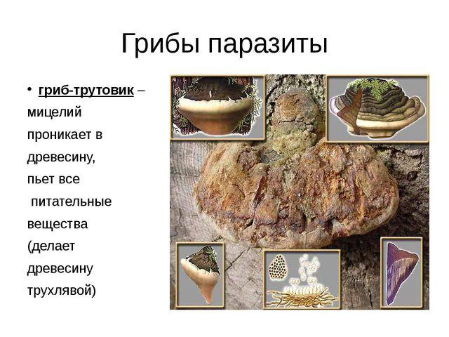 Грибы паразиты гриб-трутовик – мицелий проникает в древесину, пьет все питате...