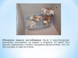 Объектом нашего исследования были 4 инкубаторских цыпленка, купленных на рынк
