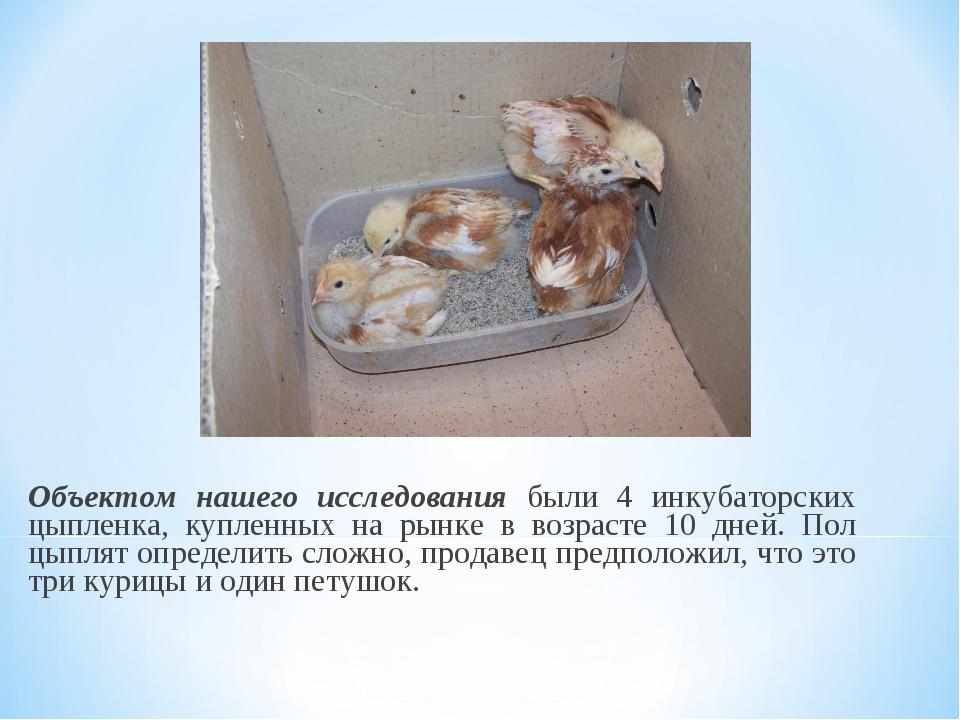 Объектом нашего исследования были 4 инкубаторских цыпленка, купленных на рынк...