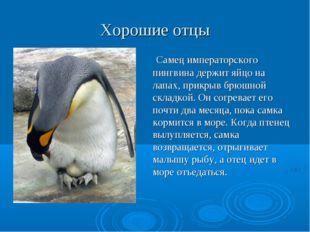 Хорошие отцы Самец императорского пингвина держит яйцо на лапах, прикрыв брюш