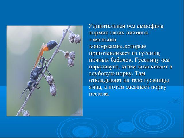 Удивительная оса аммофила кормит своих личинок «мясными консервами»,которые...