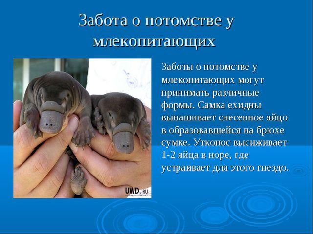 Забота о потомстве у млекопитающих Заботы о потомстве у млекопитающих могут п...