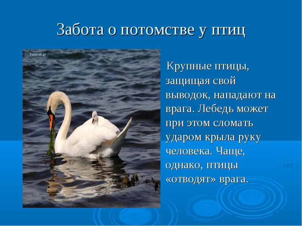 Забота о потомстве у птиц Крупные птицы, защищая свой выводок, нападают на вр...