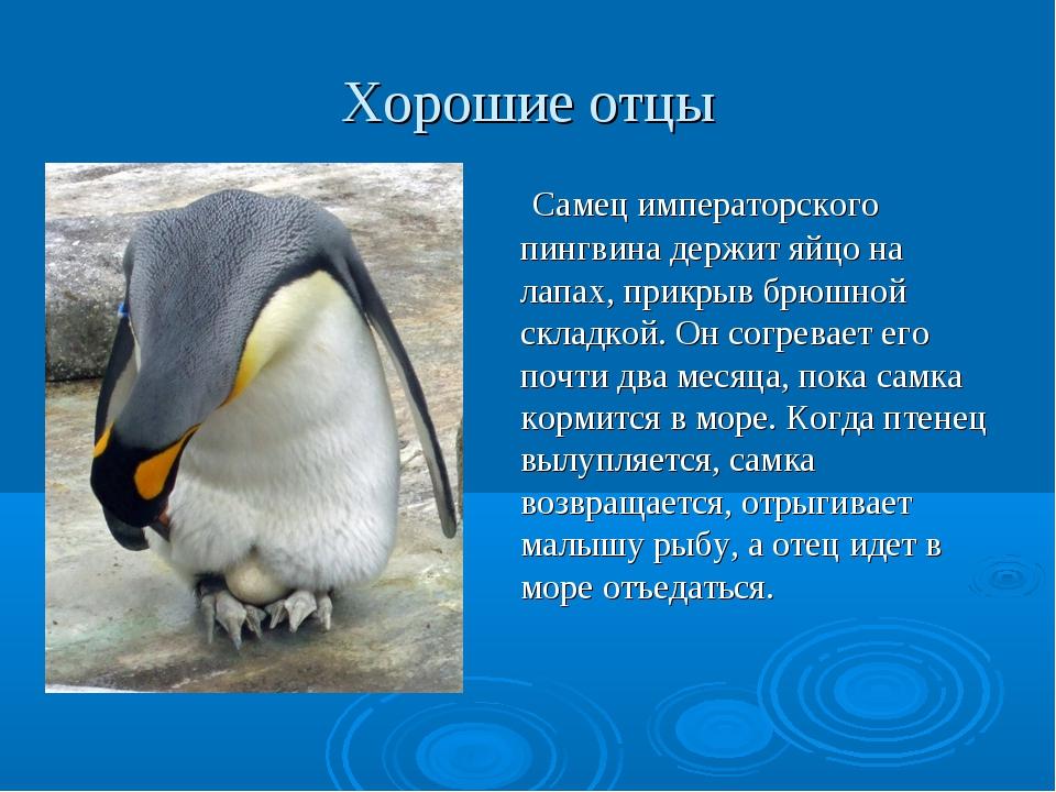 Хорошие отцы Самец императорского пингвина держит яйцо на лапах, прикрыв брюш...