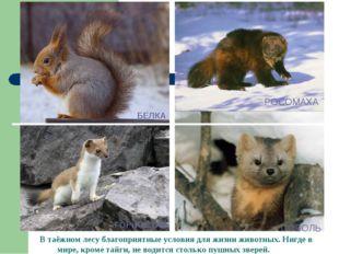 РОСОМАХА В таёжном лесу благоприятные условия для жизни животных. Нигде в мир