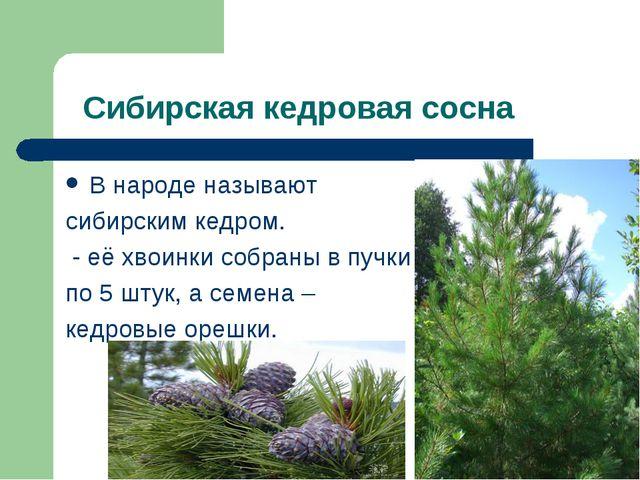 Сибирская кедровая сосна В народе называют сибирским кедром. - её хвоинки со...