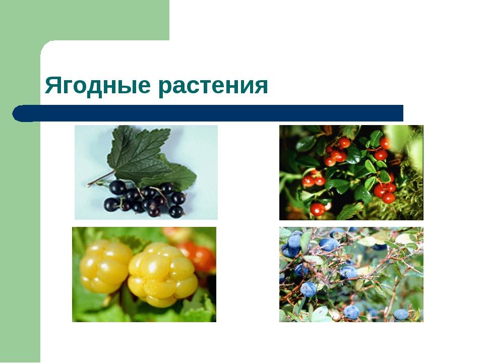 Ягодные растения