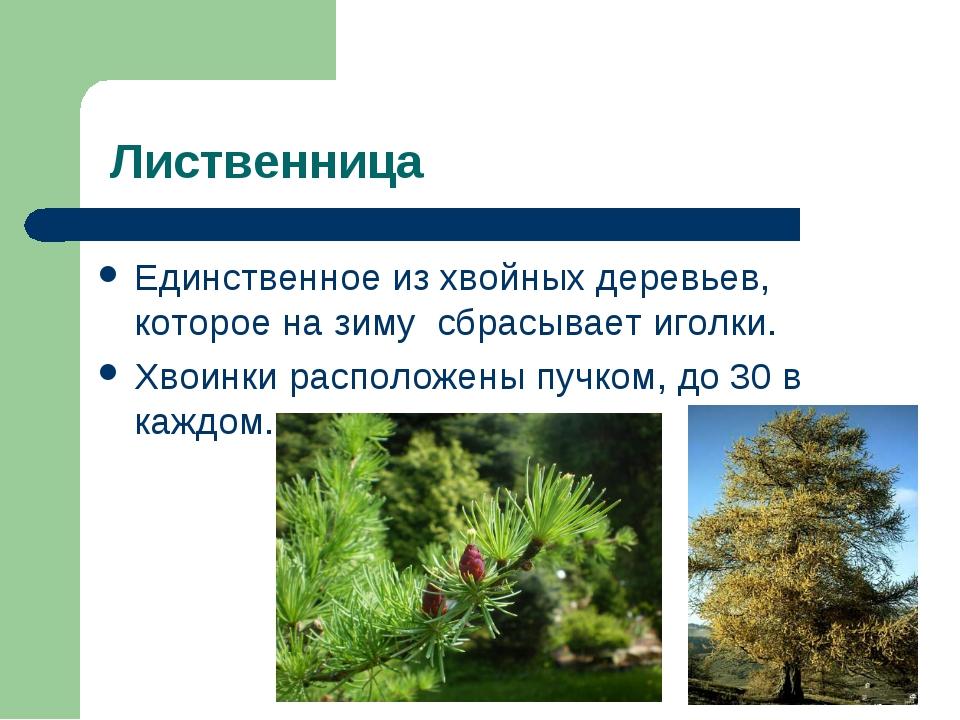 Лиственница Единственное из хвойных деревьев, которое на зиму сбрасывает иго...