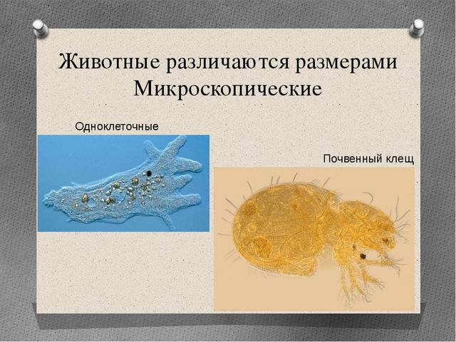 Животные различаются размерами Микроскопические Одноклеточные Почвенный клещ