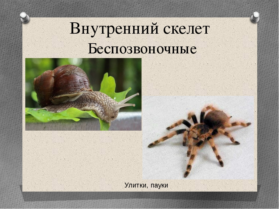 Внутренний скелет Беспозвоночные Улитки, пауки