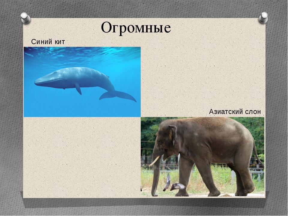 Синий кит Азиатский слон Огромные