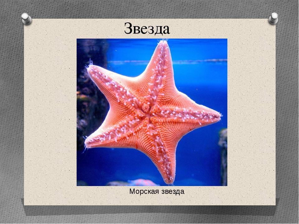 Звезда Морская звезда