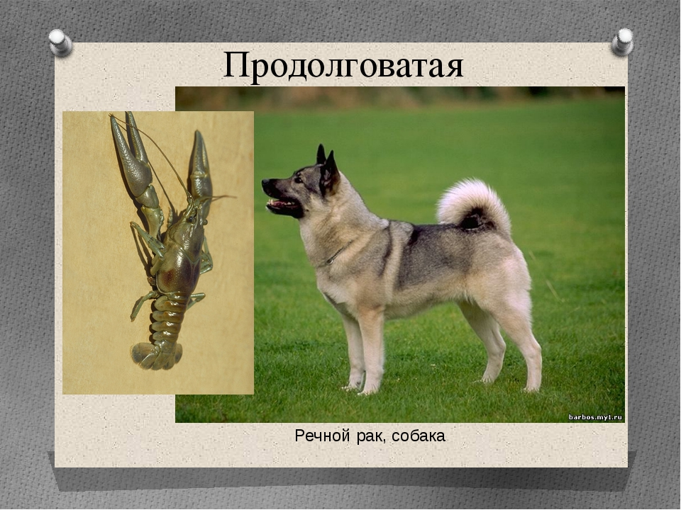 Продолговатая Речной рак, собака