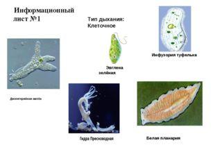 Дизентерийная амёба Эвглена зелёная Инфузория туфелька Белая планария Информа