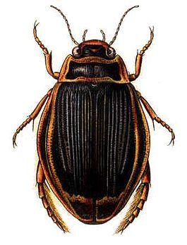 265px-Dytiscus_latissimus.jpg