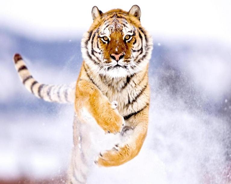 siberian_tiger.jpg